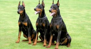 Purchase a Fantastic Guard Dog in Australia